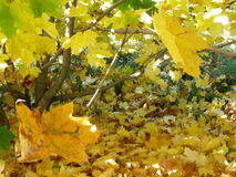 Yellow maple lisva forms a carpet under the trees. In autumn the leaves dry, turn yellow in the sun. Plants dry, beautifully yellow. Some leaves still green. The Royalty Free Stock Images