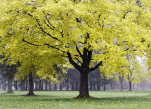 Yellow Maple Royalty Free Stock Image