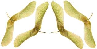 Yellow maple seeds Stock Photography