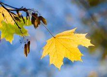 Yellow maple sheet. On a branch on a background of the blue sky Stock Images