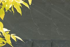 Yellow maple in spring on massive slate plate. Card concept. royalty free stock photography
