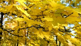 Yellow maple swaying on a branch in the park leaves in the wind close-up stock video footage