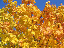 Yellow maple tree. Pictured against bright blue sky Stock Photography