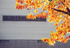 Yellow maple tree against metal urban wall Stock Photos