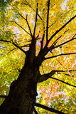 Yellow maple tree in autumn Royalty Free Stock Photography
