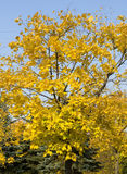 Yellow maple tree Royalty Free Stock Photography