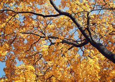 Yellow maple tree in autumn. Low angle shot of yellow maple tree in autumn Stock Photo