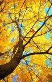 Yellow maple tree Stock Photos