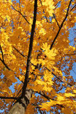 Yellow maple tree. Maple tree with beautiful bright yellow leaves Royalty Free Stock Images