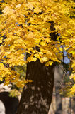 Yellow maple tree. Beautiful colors of the autumn Royalty Free Stock Photo