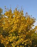 Yellow maple tree on blue sky. Autumn landscape - yellow maple tree on blue sky, vertical view Royalty Free Stock Image