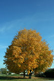 Yellow maple tree blue sky Royalty Free Stock Photos