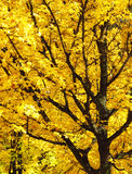 Yellow maple tree. Branches of maple tree with bright yellow leaves in autumn Royalty Free Stock Images