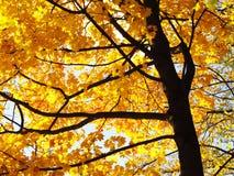 Yellow maple tree Stock Photo