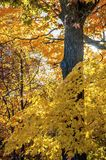 Yellow maple tree with brown bark. Maple tree with fall yellow colours on the brown bark Royalty Free Stock Photography