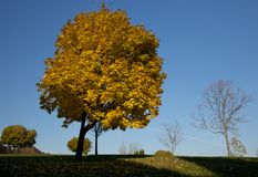 Yellow maple tree in the fall royalty free stock photo