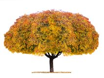 Yellow maple tree isolated. On white background stock photography