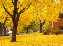 Yellow maple tree landscapes. Yellow maple tree with leaves covering the ground Royalty Free Stock Photo