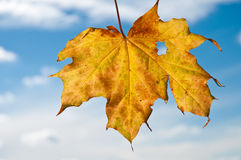 Yellow maple tree leaf in autumn Stock Photo