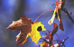 Yellow maple tree leaf on the branch. Yellow maple leaf on the tree branch outdoors Royalty Free Stock Photography