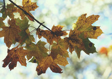 Yellow maple tree leaf on the branch. Yellow maple leaf on the tree branch outdoors Royalty Free Stock Photo
