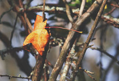 Yellow maple tree leaf on the branch. Yellow maple leaf on the tree branch outdoors Stock Photo