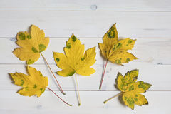 Yellow maple tree leafs with green spots on a white wooden backg Royalty Free Stock Images