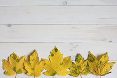 Yellow maple tree leafs with green spots on a white wooden backg Royalty Free Stock Image