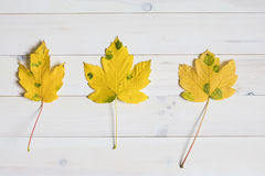Yellow maple tree leafs with green spots on a white wooden backg Stock Images