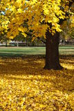 Yellow maple tree and leaves  Stock Image