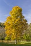 Yellow Maple Tree Royalty Free Stock Photography