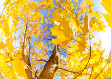 Yellow maple tree leaves composition over sky Royalty Free Stock Images