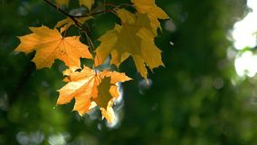 Yellow maple tree leaves. Green blurred forest background stock footage