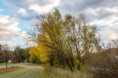 Yellow maple tree near parking lot autumn Royalty Free Stock Photos