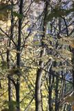 Yellow maple trees in autumn. Close up Yellow maple trees in autumn during sunny day stock photo