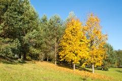 Yellow maple trees in autumn park. Beautiful landscape - yellow maple trees in autumn park stock photo