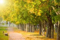Yellow maple trees in the autumn park. Yellow maple trees in the sunny autumn park stock image
