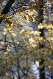 Yellow maple trees in autumn. And sunny day stock photo