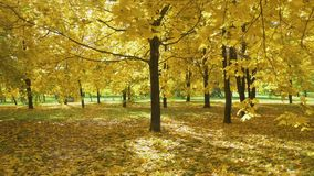 Yellow Maple Trees and Foliage on Ground in Park in Autumn. Sunbeams are Going through Leaves