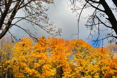 Yellow maple trees line in autumn park. Cloudy blue sky stock images