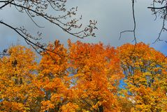 Yellow maple trees line in autumn park. Cloudy bright blue sky stock photo