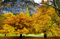 Yellow maple trees. At Trummelbach fall royalty free stock photography