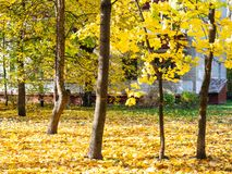 Yellow maple trees in urban yard in autumn. Yellow maple trees in urban yard and apartment house on background in Moscow city in sunny autumn day stock images