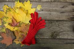 Yellow maple. Leaves are collected for the herbarium Royalty Free Stock Images