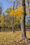 Yellow maples with the background of blue sky. Maple autumn in Moscow Park. Russia Royalty Free Stock Photography