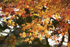 The yellow maples. The beatiful maple in Japan Stock Photography