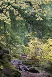 Yellow Maples and Fall Foliage on Trail Stock Photography