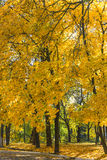 Yellow maples. Stock Image