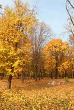 Yellow maples in their beauty, decoration of parks and avenues. Colorful autumn in nature on Java Stock Photo
