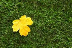 Yellow mapple leaf Stock Image